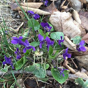 may violets