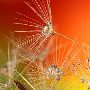 june dandelion seeds